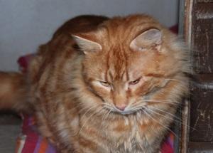 Long haired ginger cat